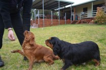 Banksia Park Puppies Hala - 30 of 31