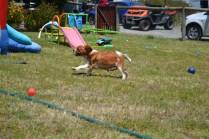 banksia-park-puppies-hera-10-of-16
