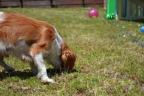banksia-park-puppies-hera-4-of-16