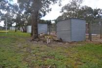 banksia-park-puppies-missy-1-of-40