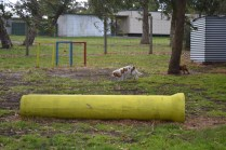 banksia-park-puppies-missy-12-of-40