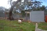 banksia-park-puppies-missy-23-of-40