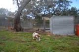 banksia-park-puppies-missy-24-of-40
