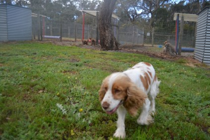 banksia-park-puppies-missy-26-of-40