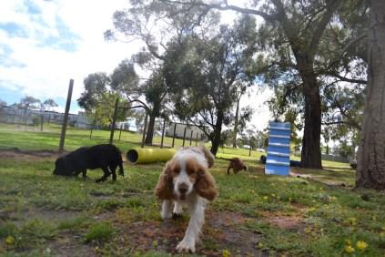 banksia-park-puppies-missy-31-of-40