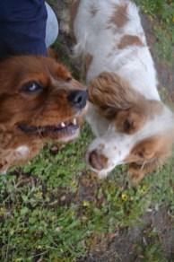 banksia-park-puppies-missy-33-of-40