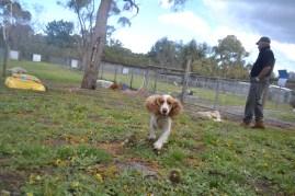 banksia-park-puppies-missy-36-of-40