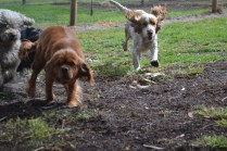 banksia-park-puppies-missy-39-of-40