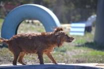 Banksia Park Puppies Willbee - 1 of 54 (33)