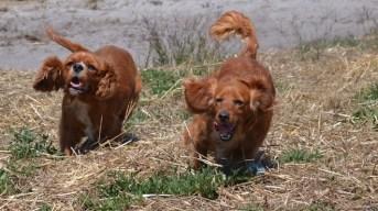Banksia Park Puppies Willbee - 1 of 54 (35)