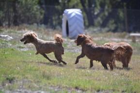 Banksia Park Puppies Willbee - 1 of 54 (36)