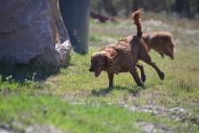 Banksia Park Puppies Willbee - 1 of 54 (49)