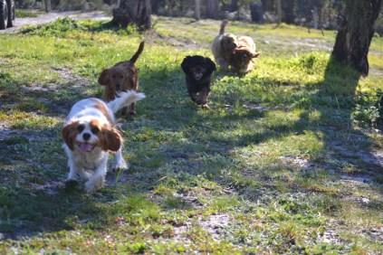 Banksia Park Puppies Willbee - 13 of 29