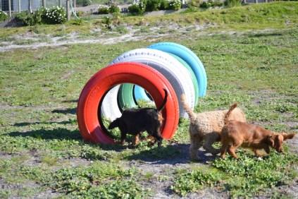 Banksia Park Puppies Willbee - 17 of 29