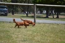 sage-banksia-park-puppies-4-of-13