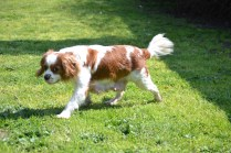 Starlet-Cavalier-Banksia Park Puppies - 21 of 25