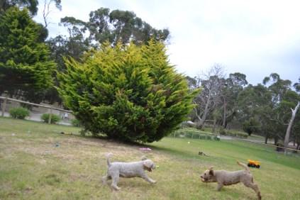 Banksia Park Puppies Avia