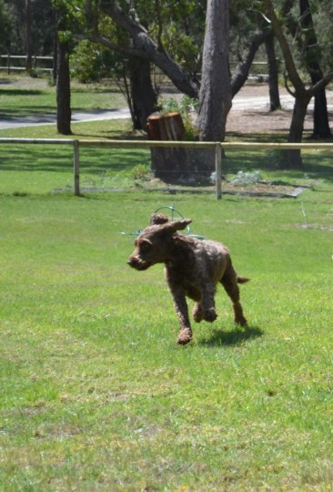 Banksia Park Puppies Montana