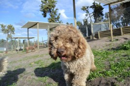 Banksia Park Puppies Avril
