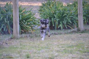 Banksia Park Puppies Hazza