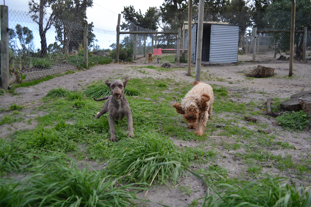 Banksia Park Puppies June