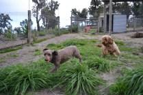 Banksia Park Puppies Wilma