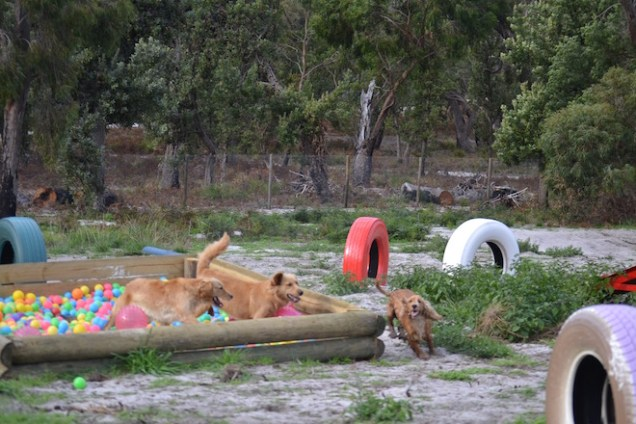 Banksia Park Puppies Sara - 13 of 39
