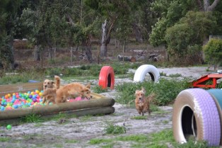 Banksia Park Puppies Sara - 15 of 39