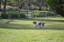 Banksia Park Puppies Trinda