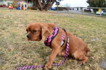 Mami-Cavalier-Banksia Park Puppies - 42 of 53