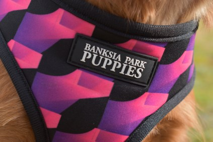 Mami-Cavalier-Banksia Park Puppies - 5 of 53