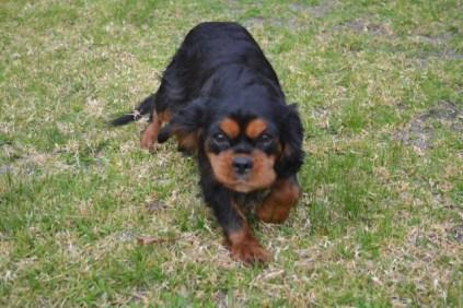 Banksia Park Puppies Chazzie - 2 of 39