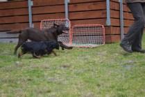 Banksia Park Puppies Chazzie - 5 of 39