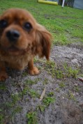 banksia-park-puppies-cosmo-10-of-22