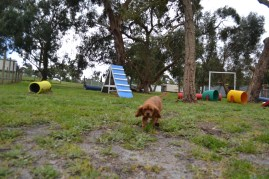 banksia-park-puppies-cosmo-21-of-22