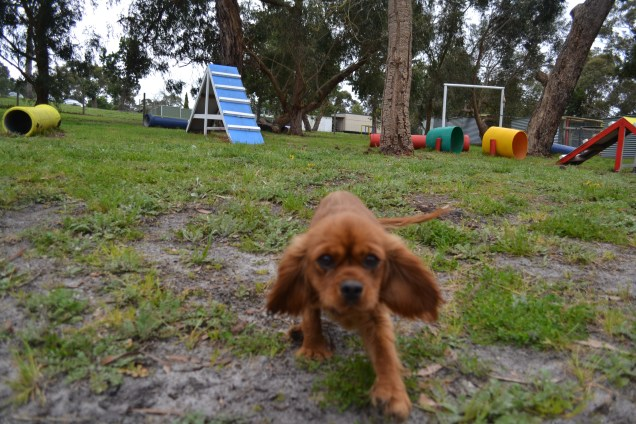banksia-park-puppies-cosmo-22-of-22