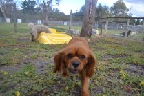 banksia-park-puppies-crunchie-18-of-25