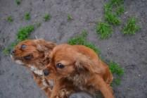 Banksia Park Puppies Harper Sissi - 3 of 16