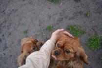Banksia Park Puppies Harper Sissi - 5 of 16