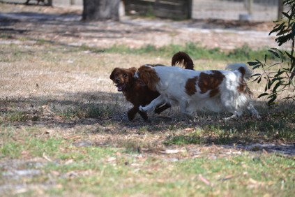 Banksia Park Puppies Muffin Ravi - 25 of 28