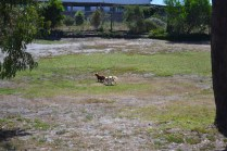Banksia Park Puppies Muffin Ravi - 5 of 28
