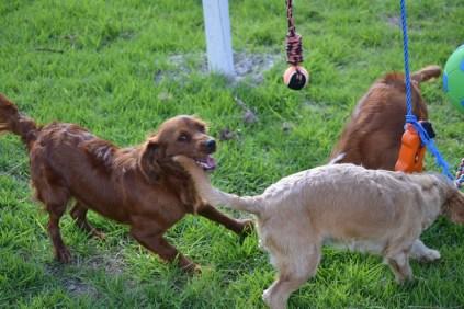 Banksia Park Puppies Poko - 13 of 19