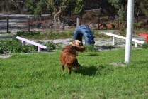 Banksia Park Puppies Poko - 17 of 19