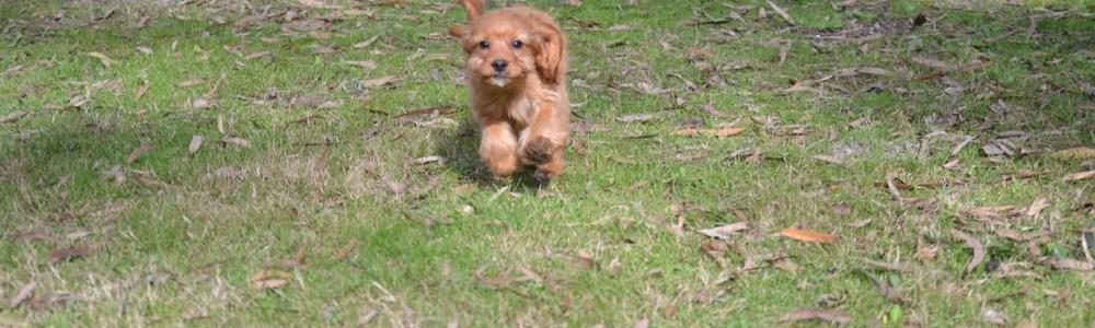 Banksia Park Puppies