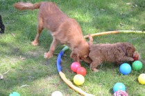 Harlee-Cavalier-Banksia Park Puppies - 14 of 24