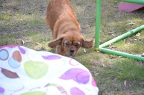 Harlee-Cavalier-Banksia Park Puppies - 6 of 24
