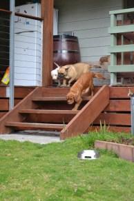 Banksia Park Puppies Monty April Shez