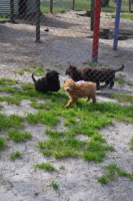 Banksia Park Puppies Ashton and Mati