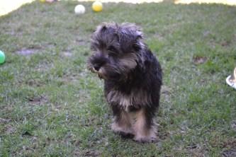 Banksia Park Puppies Looly Loopy Lulu Lila Shorty Safa