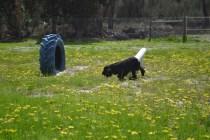 banksia-park-puppies-swish-26-of-34